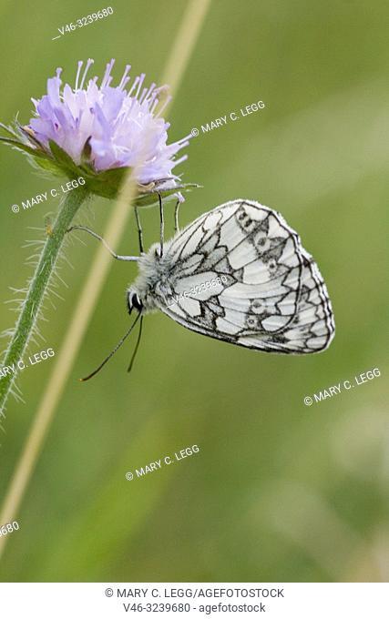 "Marbled White, Melanargaria galanthea. Large white butterfly with black marbling. Wingspan: 46â. ""56. Host plants: Brachypodium pinnatum, Bromus erectus"