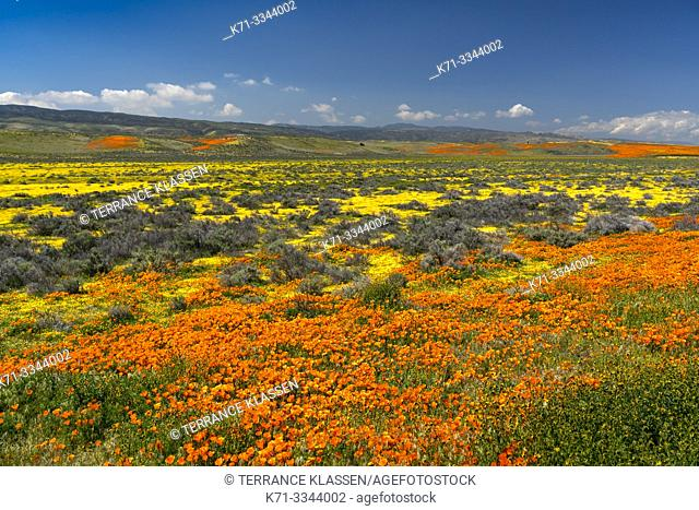 The hills and plains covered in wildflowers of the 2019 Superbloom in Antelope Valley, California, USA