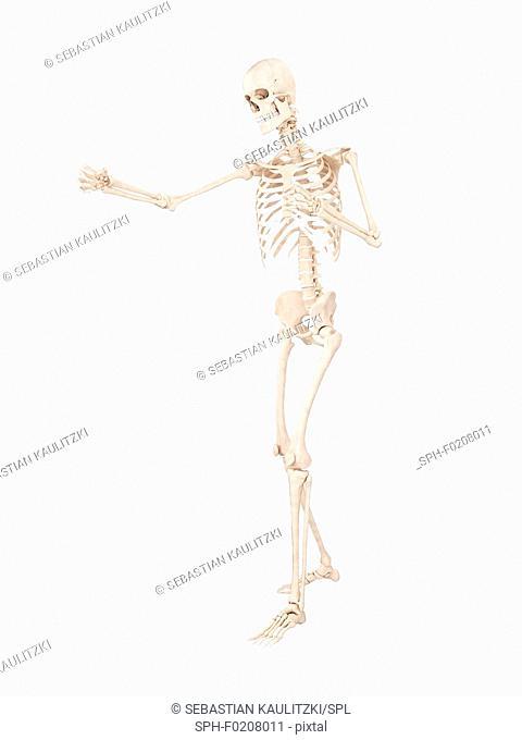 Boxer's skeletal system, illustration