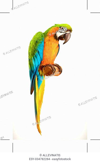 Parrot macaw, vector illustration