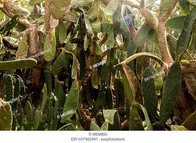 Close view of Prickly pears (Opuntia ficus-indica) or indian figs, taken in Martim Longo, Portugal