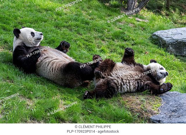 Giant panda (Ailuropoda melanoleuca) female with playful one-year old cub lying on their backs in zoo