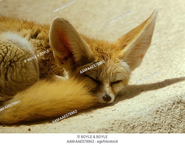 Fennec Fox (Fennecus zerda) Washington