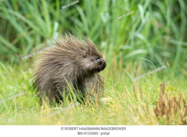 North American Porcupine (Erethizon dorsatum), Glacier Bay National Park, Alaska, USA
