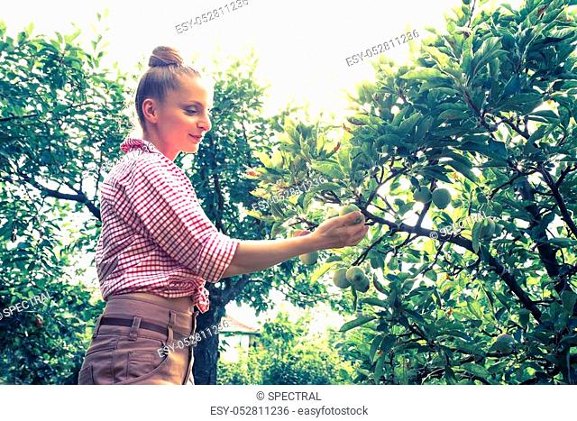A young adult woman harvesting organic Apples on a sunny day in her garden