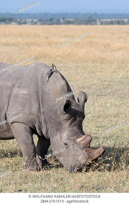 An endangered white rhinoceros or square-lipped rhinoceros (Ceratotherium simum), with the keratin of the horn removed to prevent poaching
