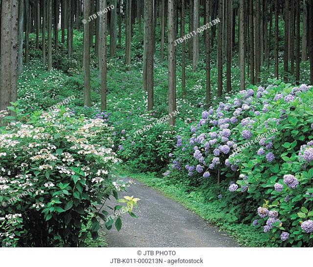 Michinoku hydrangea Garden, Summer, Ichinoseki, Iwate, Japan