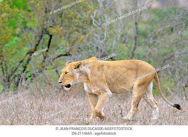 Lioness (Panthera leo), walking, Kruger National Park, South Africa, Africa