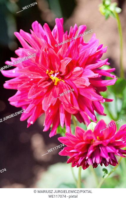 Dahlia is a genus of bushy, tuberous, perennial plants native to Mexico, Central America, and Colombia