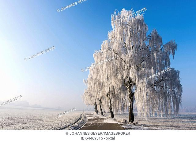Winter landscape, birch trees (Betula) with hoarfrost next to road, Erdinger Moos, Bavaria, Germany