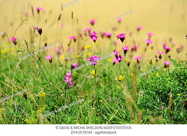 Landscape of Carthusian Pink (Dianthus carthusianorum) flowers in a meadow in Upper Palatinate, Bavaria, Germany