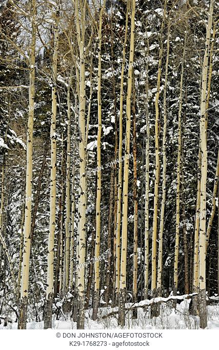 Aspen trees with fresh snow along the Bow Valley Parkway, Banff National Park, Alberta, Canada