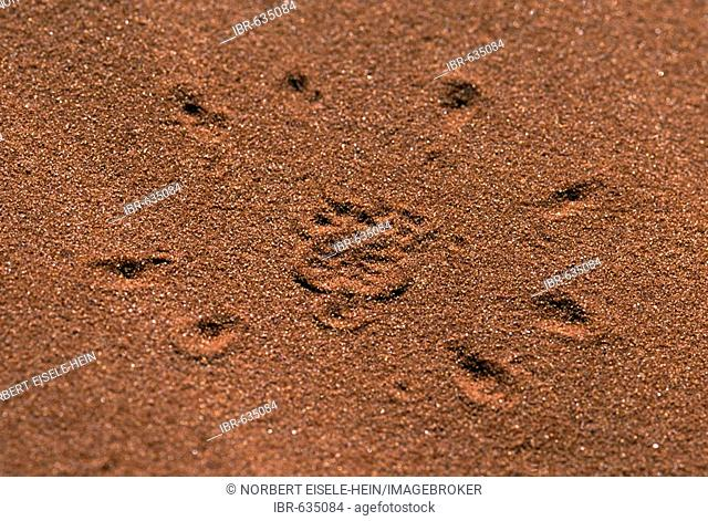 Spider tracks, Tok Tokkie Trail, NamibRand Nature Reserve, Namibia, Africa