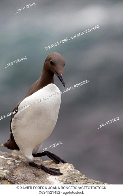 Common Guillemot - Uria aalge -, Treshnish isles near Isle of Mull, Argyll and Bute, Scotland