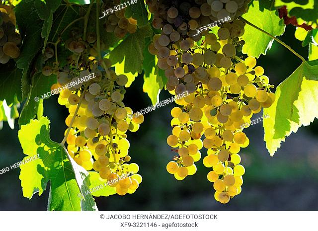 Bunch of grapes. Denomination of origin Ribera del Guadiana. Tierra de Barros. Badajoz province. Extremadura. Spain