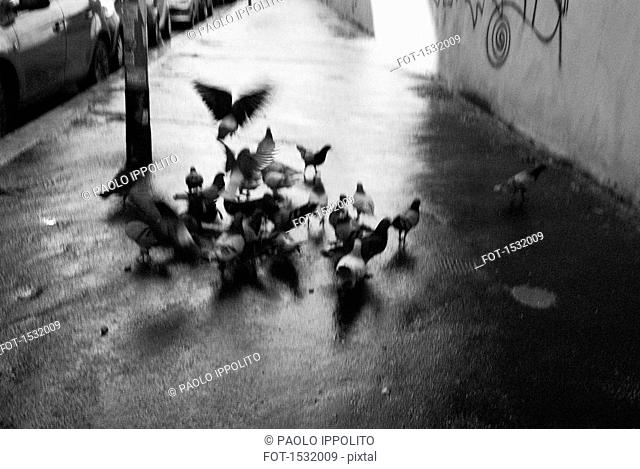 High angle view of pigeons on wet sidewalk
