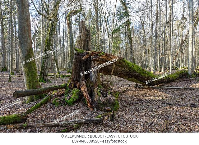 Huge maple tree broken in springtime forest partly declined, Bialowieza Forest,Poland,Europe