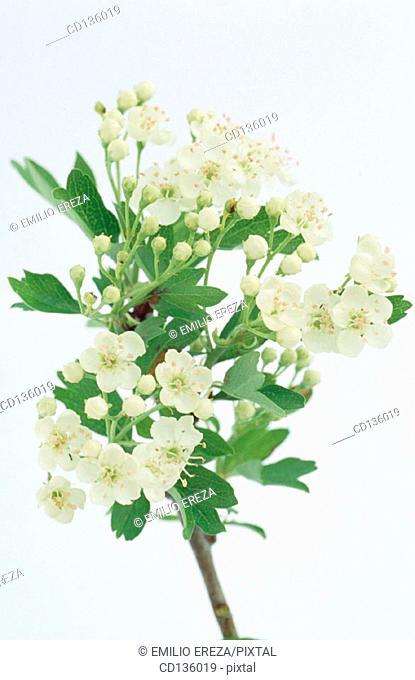 Hawthorn flowers (Crataegus oxyacantha)