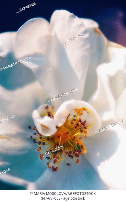 White Rose Close-up. Rosa hybrid. June 2006, Maryland, USA