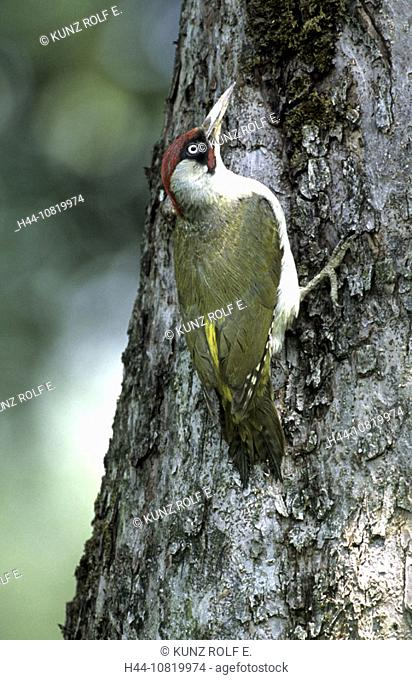 Green woodpecker, Picus viridis, male, trunk, animals, birds, Switzerland, Europe