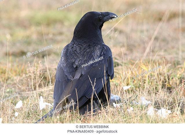 Common Raven Corvus corax - Overijssel, The Netherlands, Holland, Europe