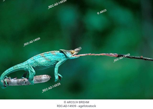 Parson's Chameleon Madagascar Chamaleo parsonii side