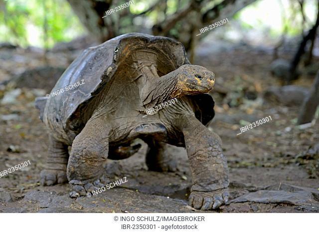 Galapagos Giant Tortoise (Geochelone elephantophus chathamensis), San Cristobal Island subspecies, Galapagos Islands, UNESCO World Heritage Site, Ecuador