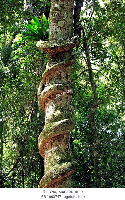Liane, aerial roots, rainforest, Lamington National Park, Queensland, Australia