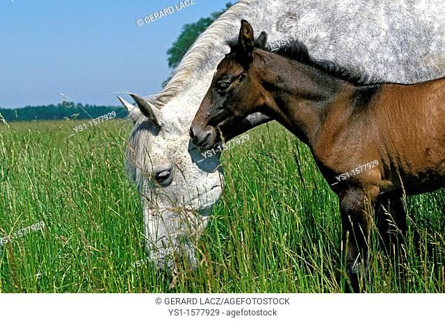 Lusitano Horse, Mare with Foal standing in Meadow