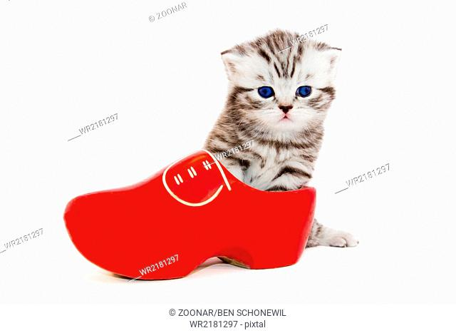 Young cat in red wooden shoe or clump