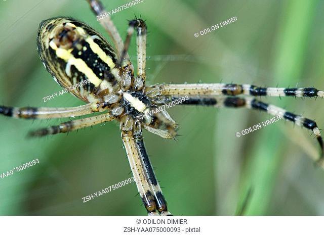 Yellow Garden Spider argiope aurantia, close-up