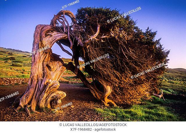 Sabina (Juniperus turbinata ssp. canariensis), El Sabinar, El Hierro, Canary Island, Spain, Europe