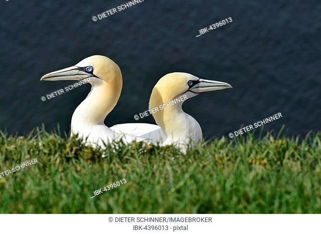 Two gannets (Morus bassanus), Lummenfelsen, Helgoland, North Sea, Schleswig-Holstein, Germany