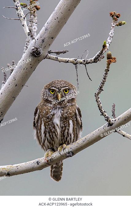 Austral Pygmy-Owl, Glaucidium nana) perched on a branch in Chile