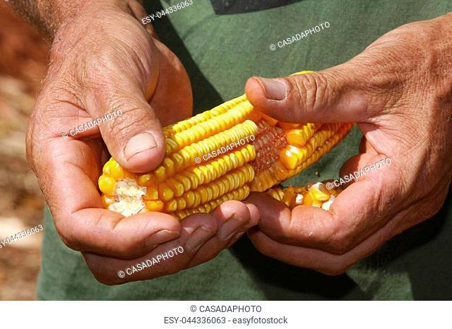 yellow ear of corn in farmer hands