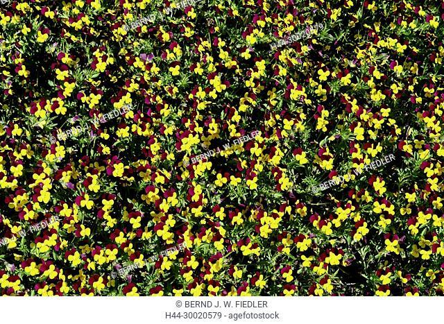 Germany, Lower Saxony, bath Castle Dri, Patch with pansy, flowers, park, gardens