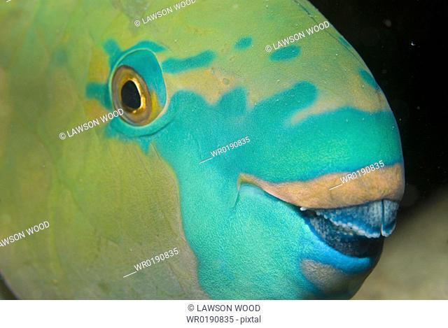 Rusty Parrotfish Scarus ferrugineus, detail of head showing eye and coloration, Red Sea