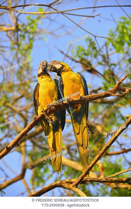 Two parrot , Aviario National de Colombia,Isla Baru, Colombia, South America