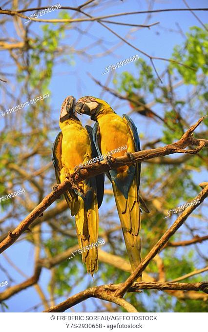 Two parrot , Aviario National de Colombia,Isla Baru, Colombia, South America