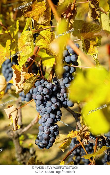 Grapes in a vineyard near Treiso, Langhe, Cuneo district, Piedmont, Italy