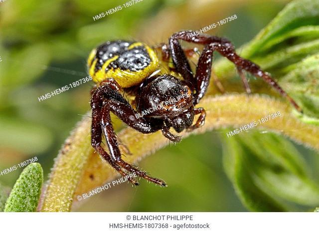 Portugal, Algarve, Araneae, Thomisidae, Crab spider (Synema globosum), yellow form