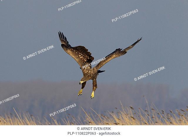 White-tailed Eagle / Sea Eagle / Erne Haliaeetus albicilla landing on frozen lake in winter, Germany