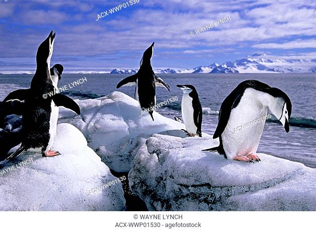 Adult chinstrap penguins Pygoscelis antarctica loafing on the beach, Baily Head, Deception Island, Antarctic Peninsula