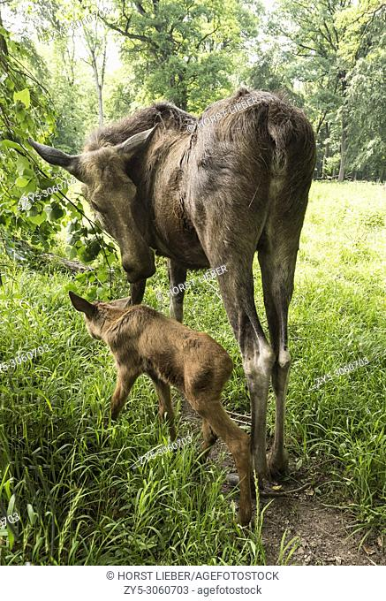 Elk cow with child in the forest. Karlsruhe, Germany, Europe