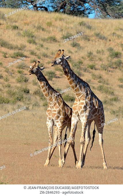 South African giraffes (Giraffa camelopardalis giraffa), two bulls in fighting position, Kgalagadi Transfrontier Park, Northern Cape, South Africa, Africa