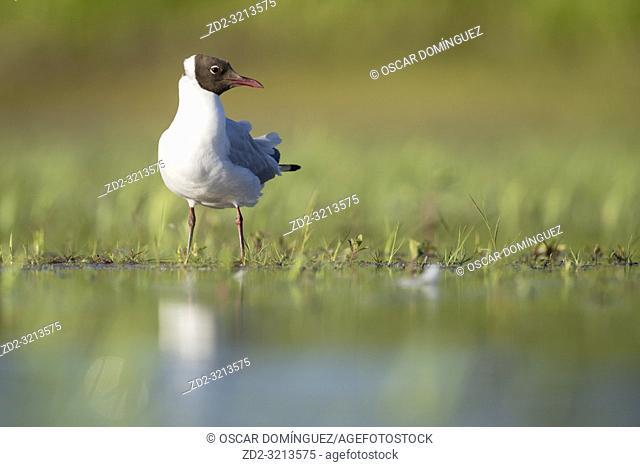 Black-headed Gull (Chroicocephalus ridibundus) adult in summer plumage perched near water. Latvia
