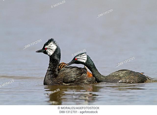 Falkland Islands , Pebble island , White-tufted Grebe  Local name : Black grebe  Podiceps rolland rolland or Rollandia rolland