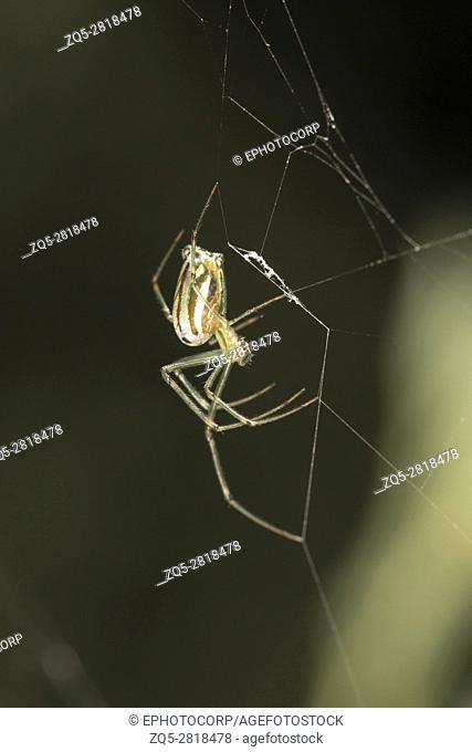 Garden spider, Leucauge decorata, Bangalore, Karnataka. The body and leg shapes and the silver, black and yellow markings of Leucauge females make...