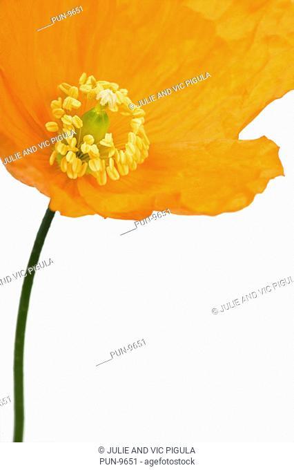 Close-up of orange poppy flower Meconopsis cambrica on white background, studio