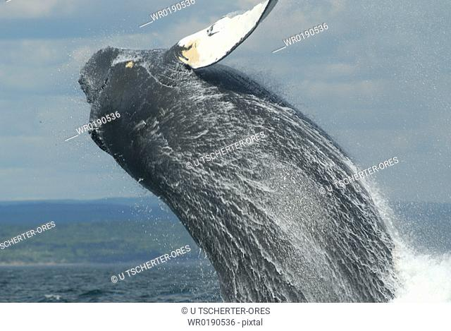 The female Humpback whale Megaptera novaeangliae named Tic-Tac-Toe, a regular visitor to the area, breaches close to the research vessel Out of joy